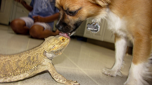 22 Cool Pictures of Bearded Dragons
