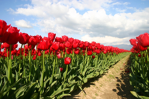 Parting The Red Sea of Tulips