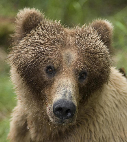grizzly bear brown bear
