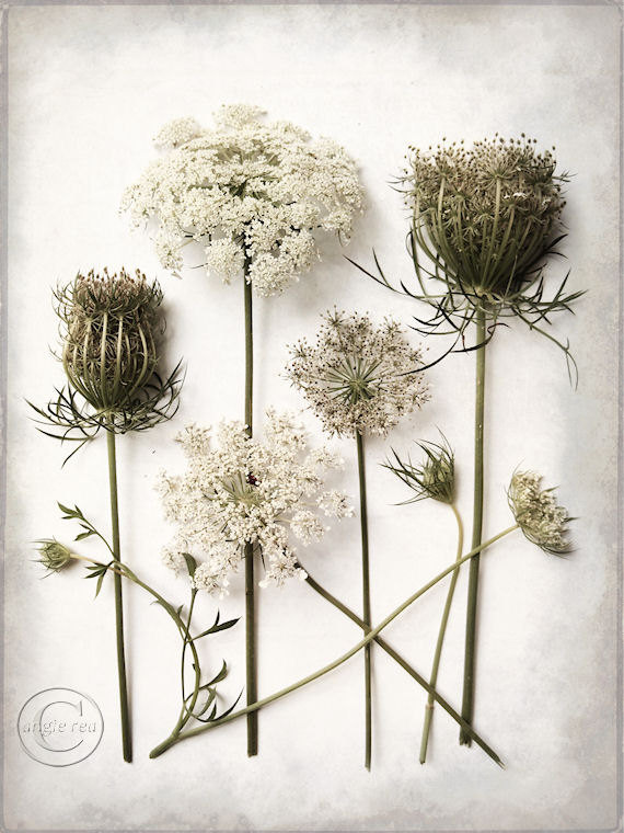 22 regal pictures of queen anne s lace for Photography prints for sale