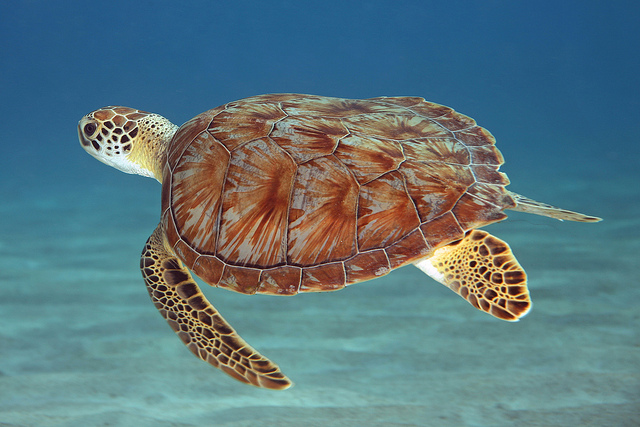 20 great pictures of turtles for Turtle fish games