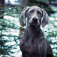 19 Stunning Pictures of Weimaraners