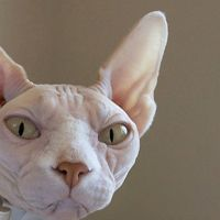 16 Cool Pictures of Sphynx Cats