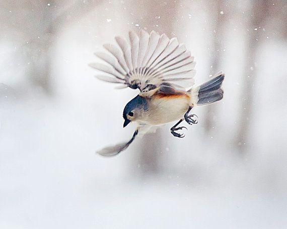 Flying Tufted Titmouse