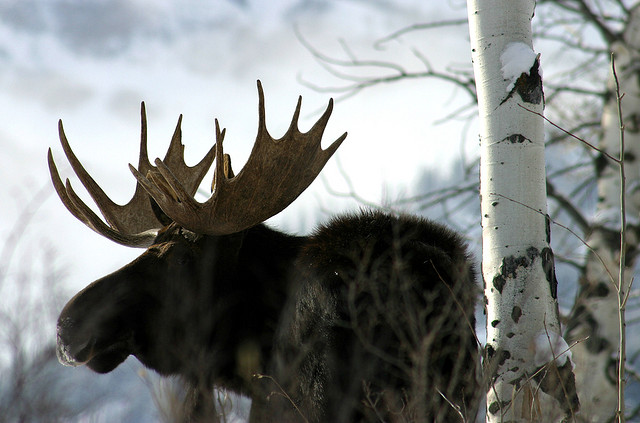 bull moose by Gail Fisher