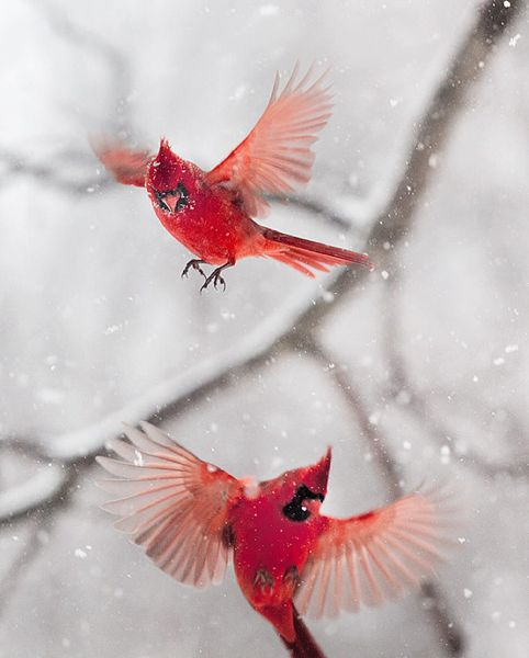 The art of staying aloft pictures of flying birds by - Pictures of cardinals in snow ...