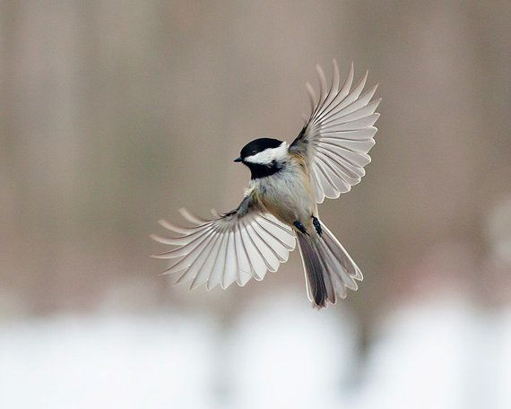 flying chickadee