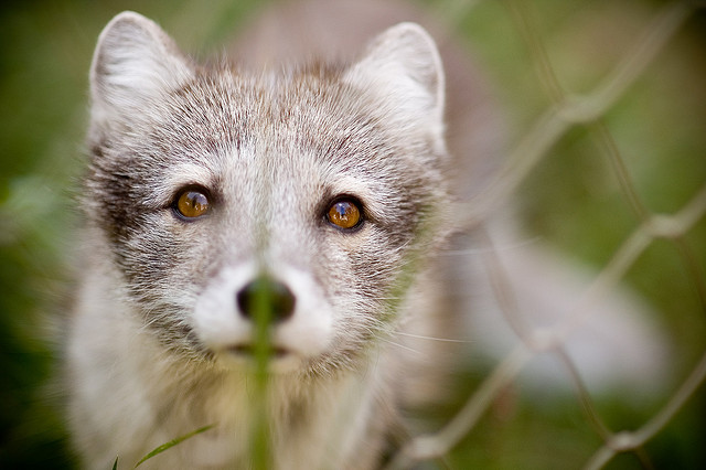 arctic fox by Mark Lee