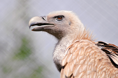 Gray and brown vulture
