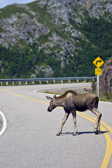 moose crossing by Jeremy Hockin