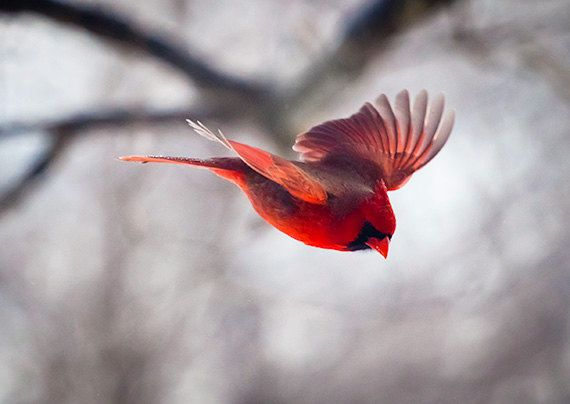 flying northern cardinal