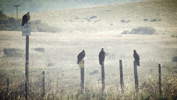 vultures sitting on fence