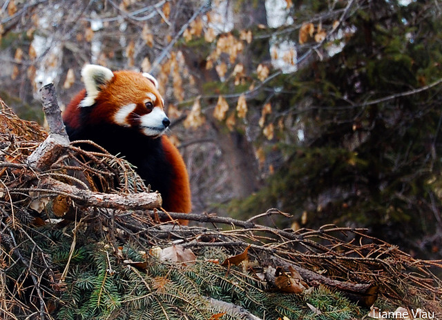 red panda by Lianne Viau