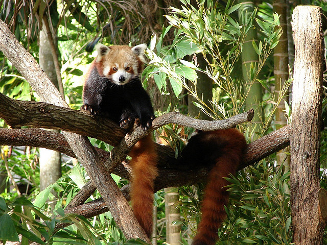 Red panda by Tatiana Gerus
