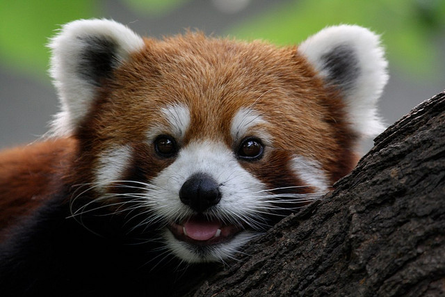 Red Panda by sung ming whang