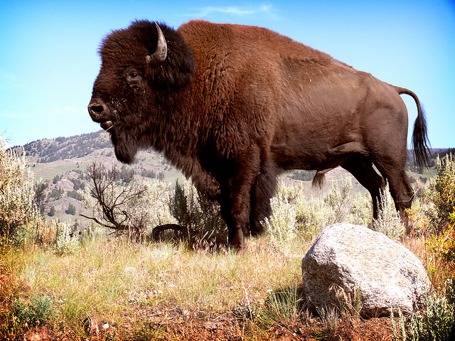 A Bison Eats 19 Amazing Pictures of...