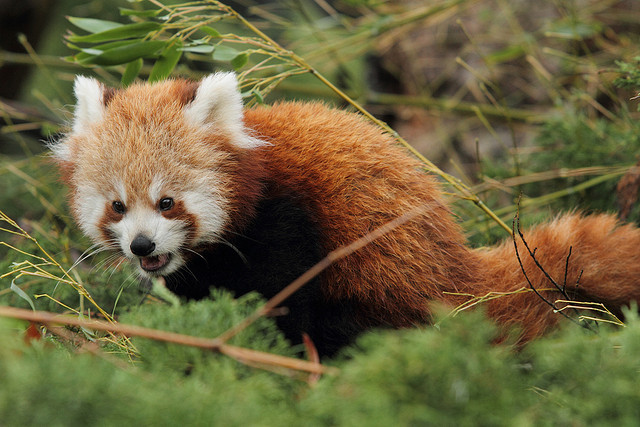Red panda kid by Sander van der Wel