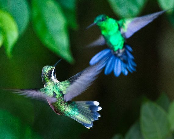 flying hummingbirds