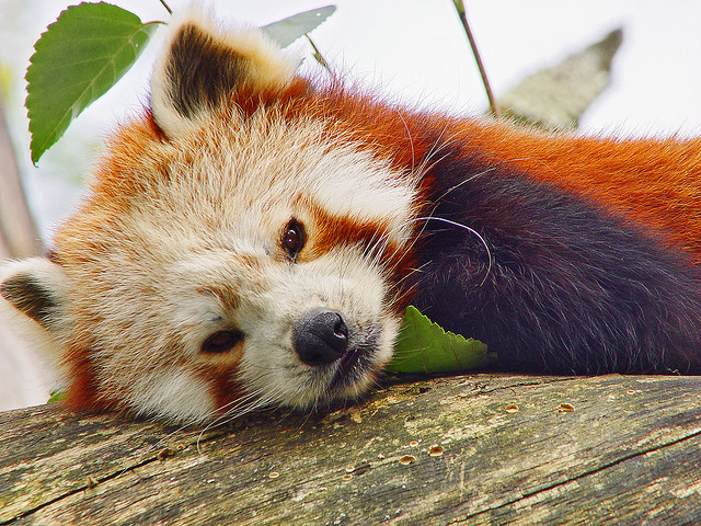 Red panda by Tambako the Jaguar