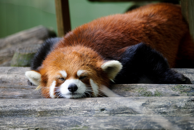 Red Panda by Eric Kilby