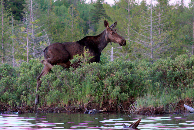 A Maine moose in the wild! by Dana Moos
