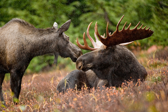 Alaskan moose pair by USFWS Headquarters