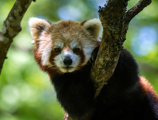 Red panda by Lars Falkdalen Lindahl