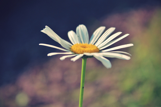 Daisy by Martinak15