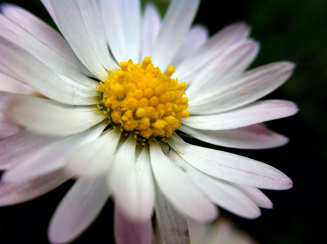 beautiful daisy flower images, Natural flower