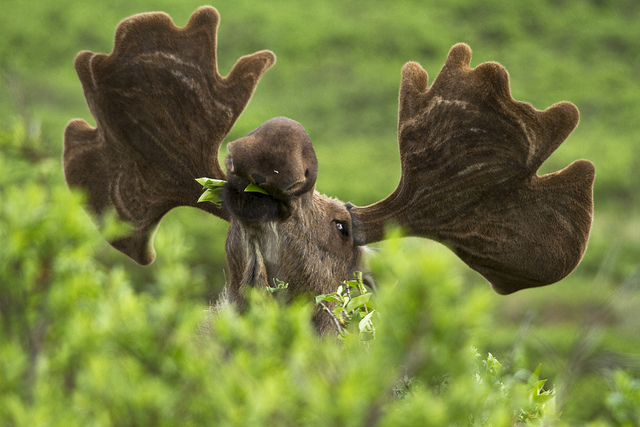 Moose in the Bushes by DenaliNPS