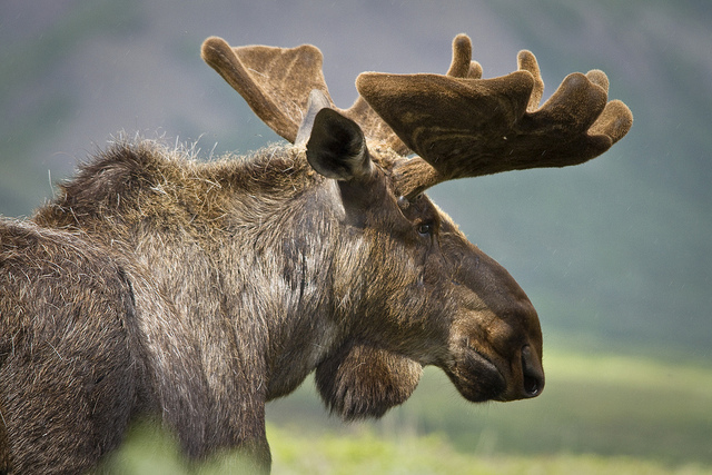 Moose Profile by DenaliNPS