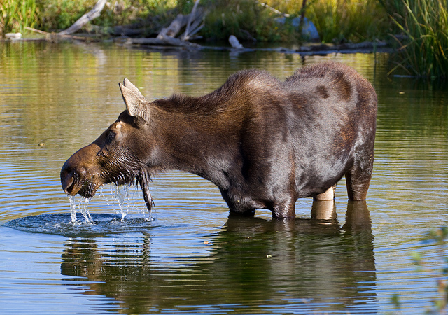 Moose 2 by Tony Hisgett