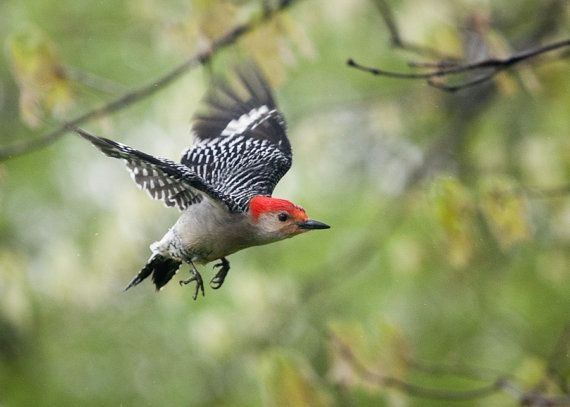 Red-bellied Woodpecker Pheucticus ludovicianus
