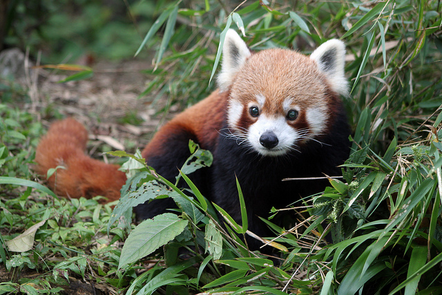 red panda 9 by flowcomm