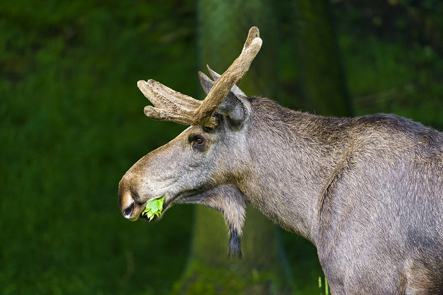 Moose eating plants by Tambako the Jaguar