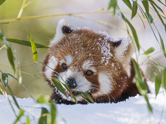 Panda eating snow by Tambako the Jaguar