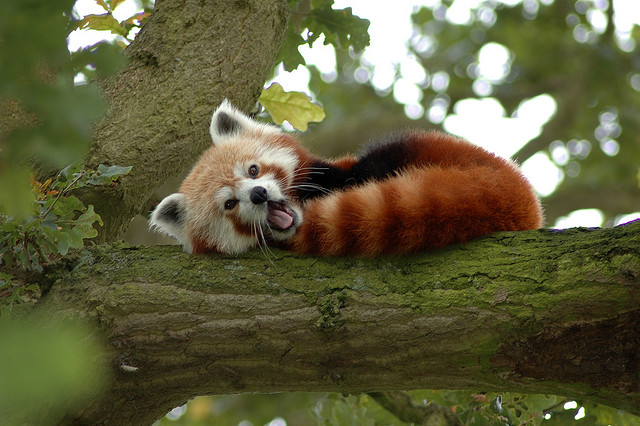 Red Panda in a Tree by Neil Mclntosh