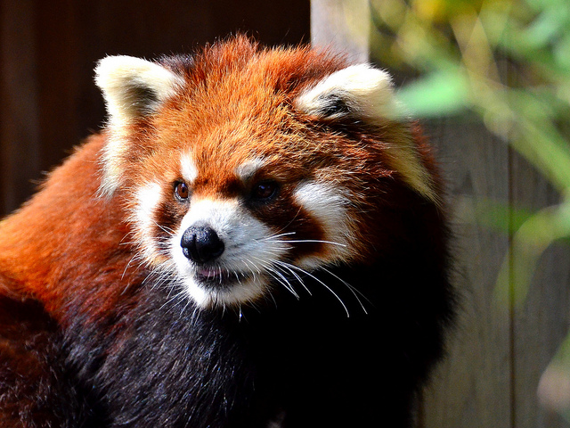 Red Male Panda by Toshihiro Gamo