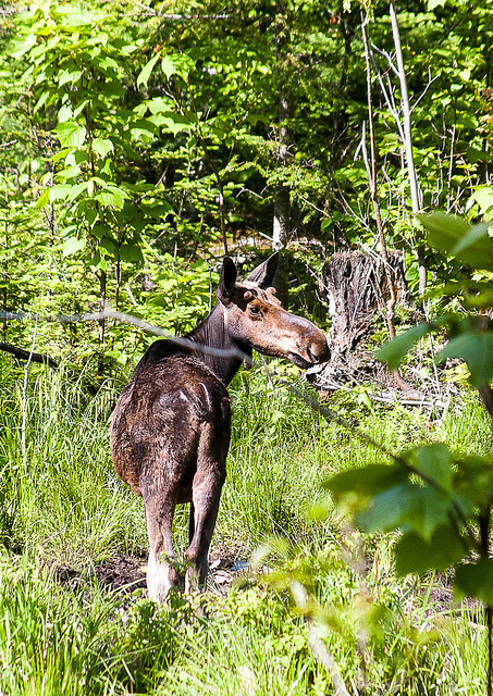 Moose by Paul VanDerWerf
