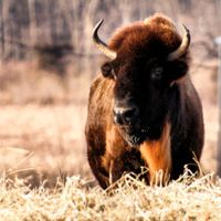 19 Amazing Pictures of American Bison