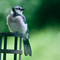 25 Lovely Blue Jay Pictures