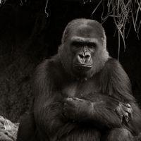 Great Pictures of Gorillas
