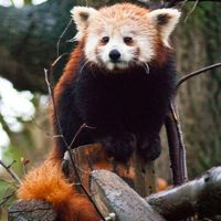21 Remarkable Red Panda Pictures