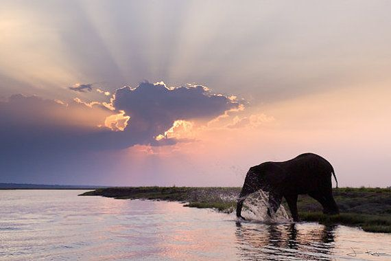 Elephant Splashing in the Chobe River at Sunset