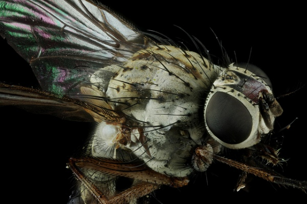Fly Macro by Johan J.Ingles-Le Nobel