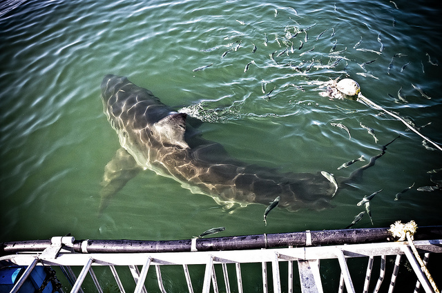 Shark Cage Diving by Victor Bergmann