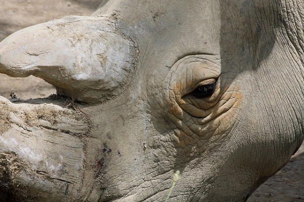 Sad Rhino Eyes by Rob Annis