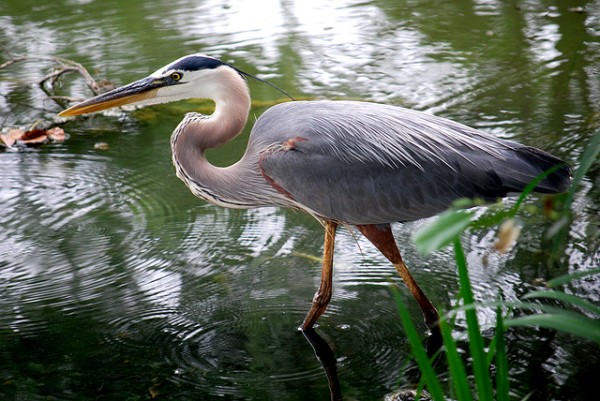 Great Blue Heron by S Pisharam