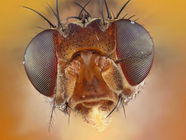 Fly Portrait by Johan J. Ingles-Le Nobel