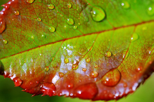 Raindrops on Rose Leaf by Tambako The Jaguar
